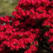 Springtime Azaleas